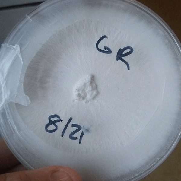 Commercial Mushroom Cultures in Petri Dishes.