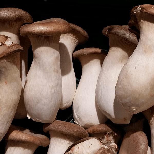 Friday Fungal Feature - King Oyster