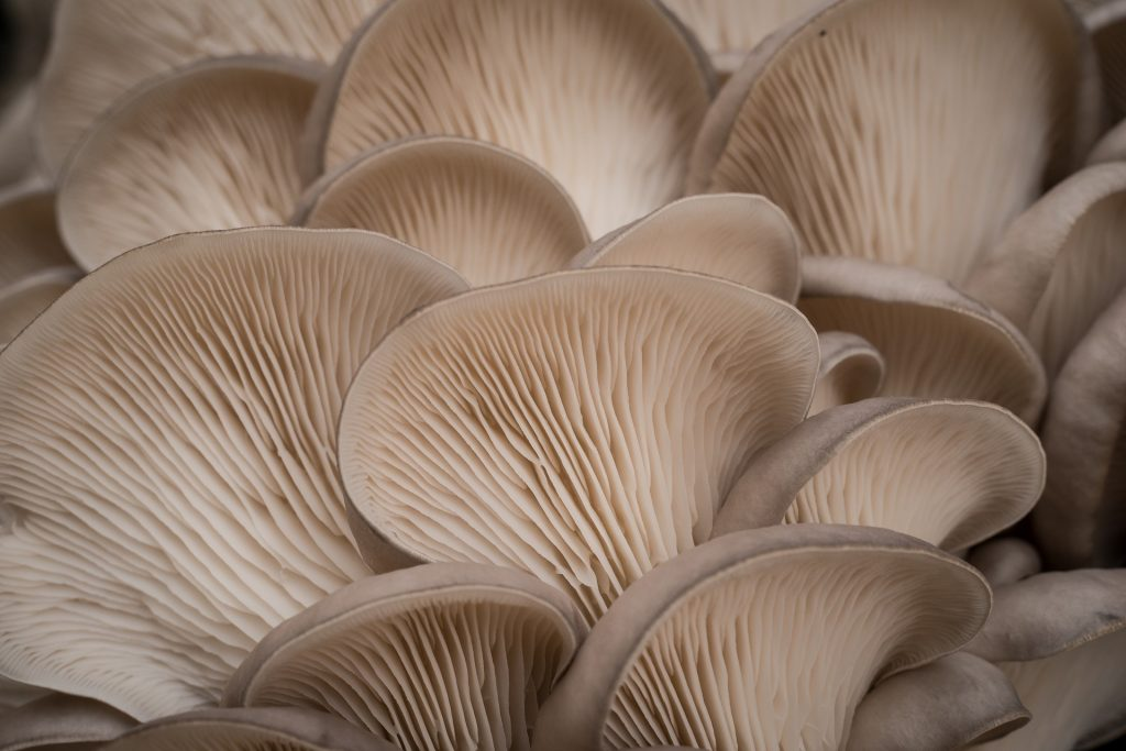 Mushroom Cultures For Beginners. Up close shot of oyster mushrooms. Enable images to view.