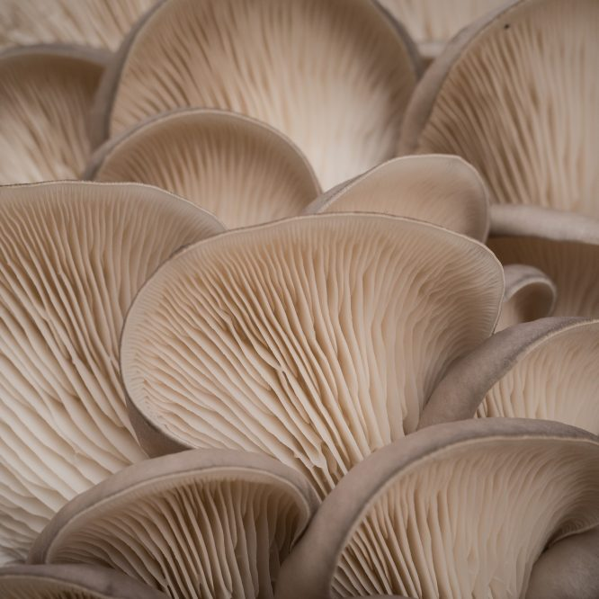 Mushroom Cultures For Beginners