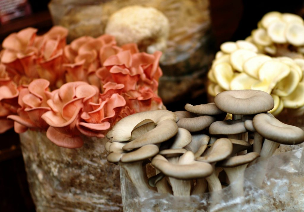 Weekly mushroom culture deals! Various mushrooms growing from fruiting blocks. Enable images to view.