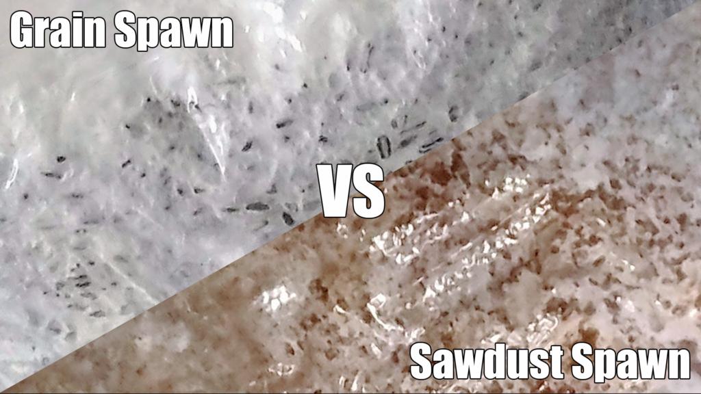 grain spawn vs sawdust spawn. grain spawn on the left, sawdust spawn on the right.